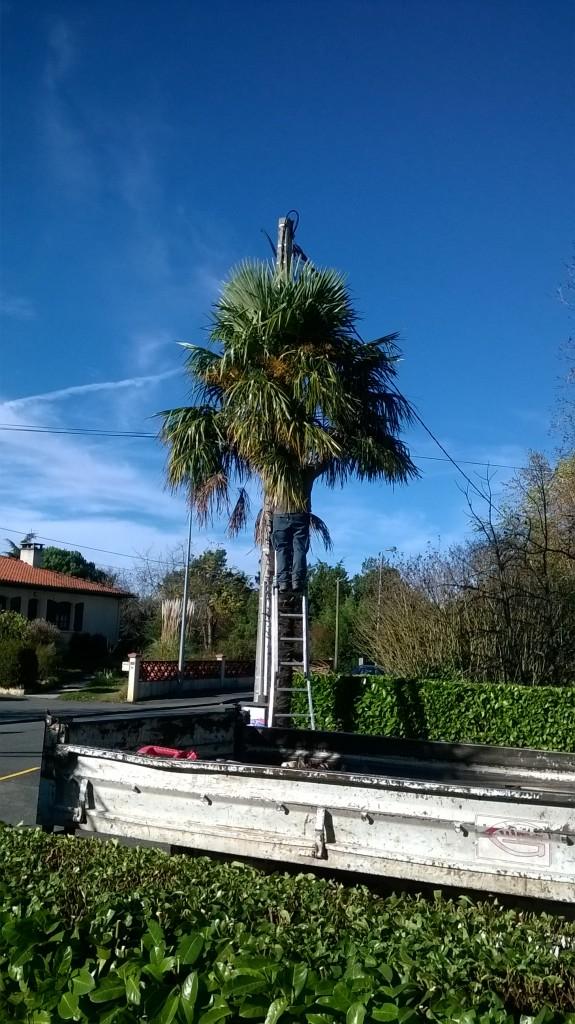 Elagage - Taille de nettoyage d'un palmier à Colomiers