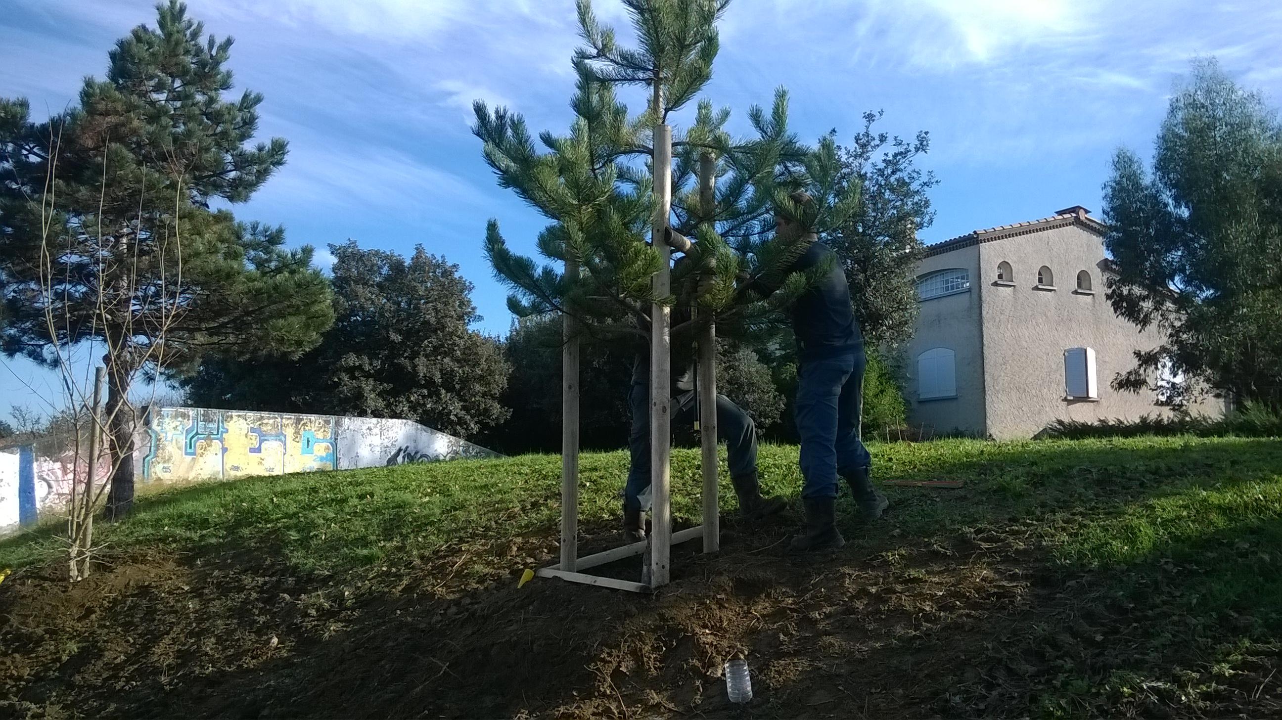 Plantation de gros arbres à Colomiers : Tuteurage tripode